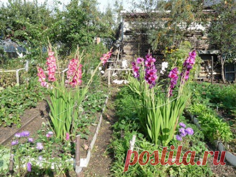 ПОДКОРМКА ДЛЯ ГЛАДИОЛУСОВ Чтобы цветы радовали вас обильным и длительным цветением, их необходимо правильно удобрить. Что касается подкормки гладиолусов, то она происходит в четыре этапа. 1. В первый раз это азотные удобрения. Вносить их следует, как только на растении появятся два-три настоящих листка. Используют аммиачную селитру, мочевину или же сульфат аммония. Некоторые садоводы утверждают, что гораздо эффективнее себя показывают натриевые или калийные селитры. 2. Во ...