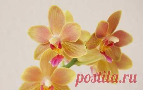 7 consejos de las bases del cuidado de las orquídeas para el novato. La foto - Ботаничка.ru