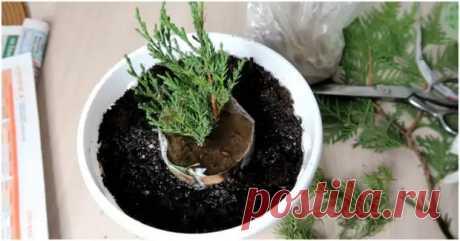 Простой способ укоренения растений.