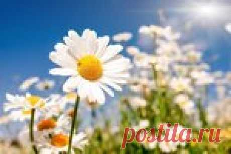 Camomile for healing of intestines
