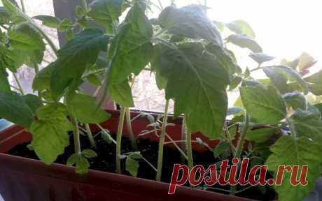 Чем подкормить рассаду помидор, чтобы была толстенькая Все огородники мечтают вырастить крепкую рассаду помидор, но не у всех это получается. Растения то вытянутся, то совсем не идут в рост. Опытные дачники подсказывают, чем подкормить рассаду помидор, чтобы была толстенькая.