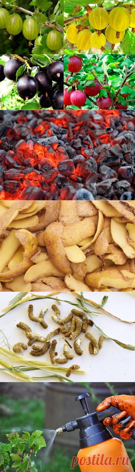 Чем подкормить смородину и крыжовник осенью