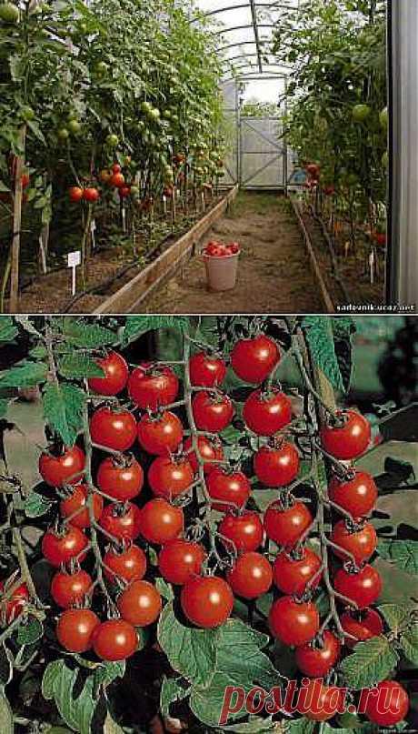 Помидоры: ленивый способ выращивания..