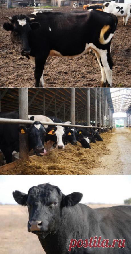Холмогорская порода коров - БиоКорова