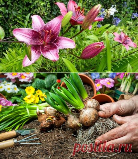 Как пересадить и размножить лилию в саду – пошаговый мастер-класс с фото | Другие луковичные (Огород.ru)