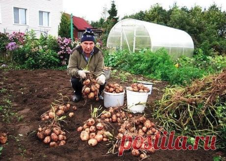 Картофель. Как с 20-ти кустов собрать 40 вёдер | Простые советы