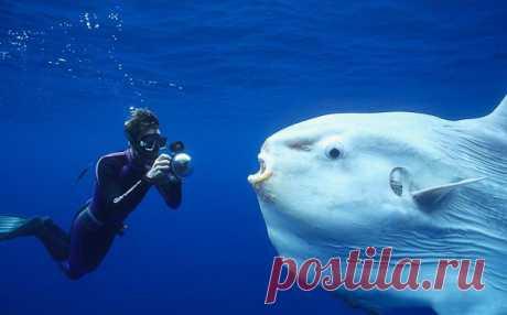 Самая странная рыба на свете: рыба-луна или мола-мола Более, чем странное существо!