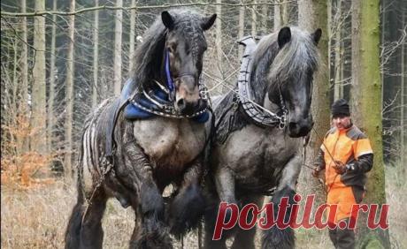 Брабансоны: Конь, который не пропускал день ног. Гора мышц, способная перевозить тяжелейшие грузы | Книга животных | Яндекс Дзен