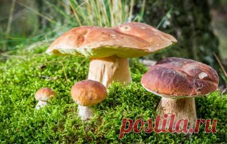 How to grow up forest mushrooms at the dacha