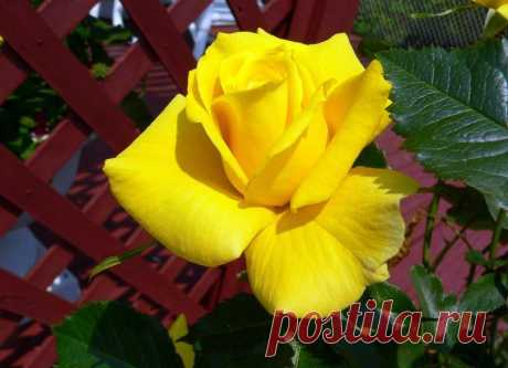 Цветы розы | Сорта роз | Уход за розами | Укрытие роз на зиму | Плетистые розы | Обрезка роз