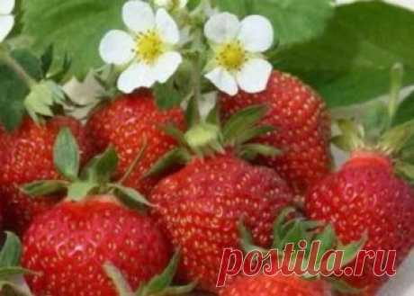 Сорт клубники Корона, описание, посадка ягоды, правильный уход