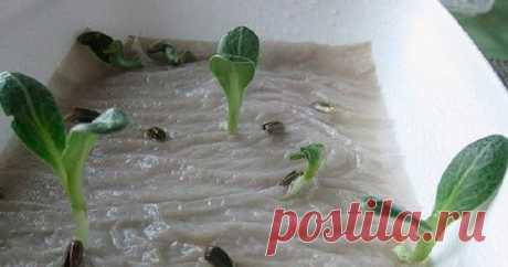 Как просто вырастить рассаду. Оригинальный способ выращивания рассады Как просто вырастить рассаду. Берете пластмассовую бутылку. Только обязательно прозрачную (не голубую, не зеленоватую) разрезаете пополам вдоль (по длине). На половинку укладываете 6-8 слоев туалетной бумаги. Затем сверху ее надо хорошо намочить, но чтобы воды не было (перевернули лишняя стечет-бумага никуда не денется