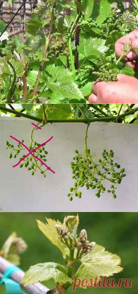 GREEN OPERATIONS ON CARE OF GRAPES | 6 hundred parts