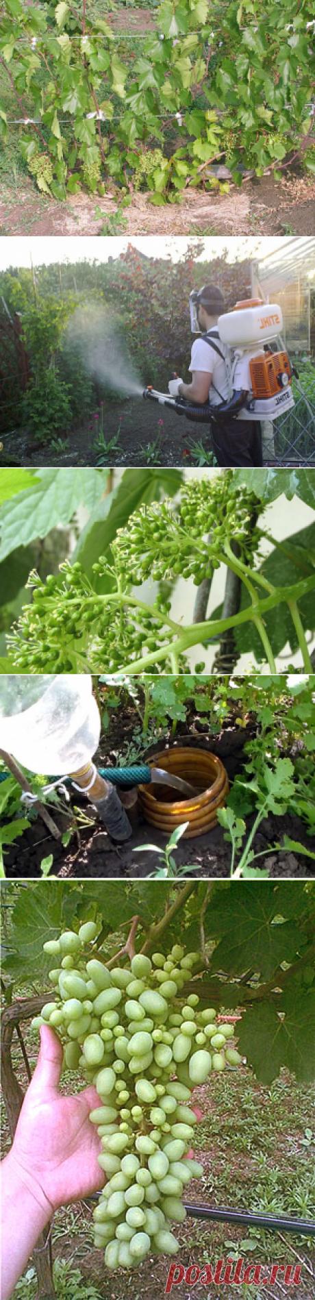Обработка, полив, подкормка, пасынкование, уход за виноградом летом + видео