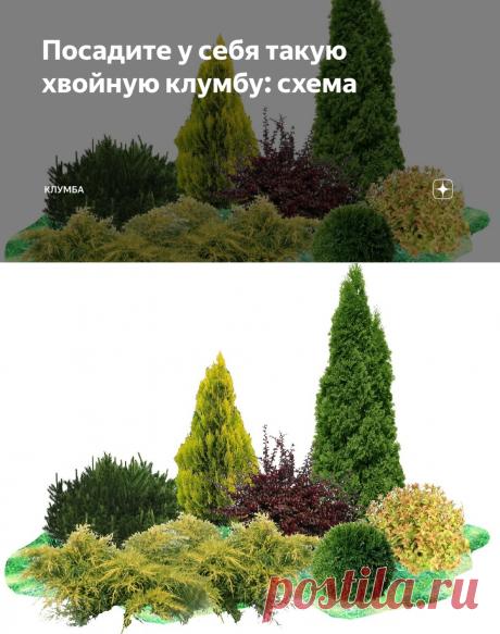 Посадите у себя такую хвойную клумбу: схема | КЛУМБА | Яндекс Дзен