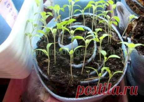 Посев перца на рассаду в улитку: последовательность и можно ли избежать пикировки