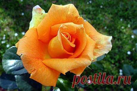 exsimius — « Роза» на Яндекс.Фотках