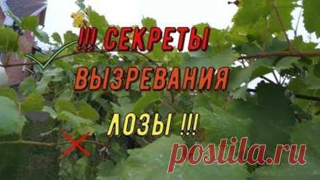 Cекреты вызревания лозы. Виноградник Вадима Точилина