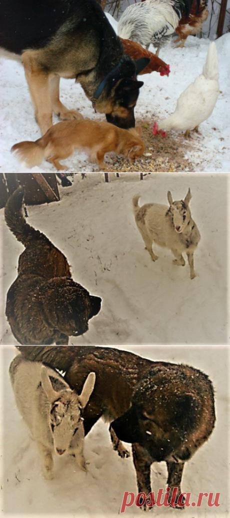 Девять пород собак, которые можно брать в фермерское хозяйство. | Своих не едим. | Яндекс Дзен