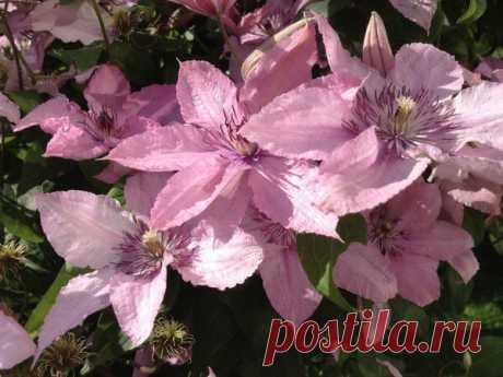 Маленький секрет цветения клематисов, пригодится уже скоро | Есть время под солнцем | Яндекс Дзен