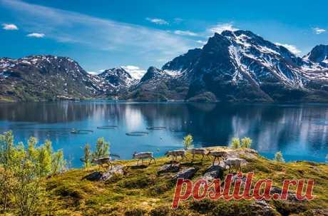 Оленье стадо в норвежском фьорде. Автор фото — Виталий Новиков: nat-geo.ru/photo/user/40200/