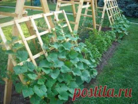 Горечи — нет! Тонкости выращивания вкусных огурцов на огороде | Секреты садоводства | Яндекс Дзен