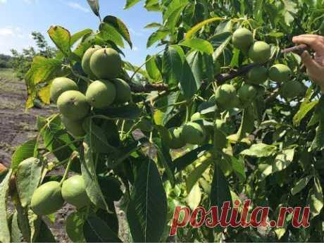 Сады грецкого ореха, урожайность, латеральность, перспективы