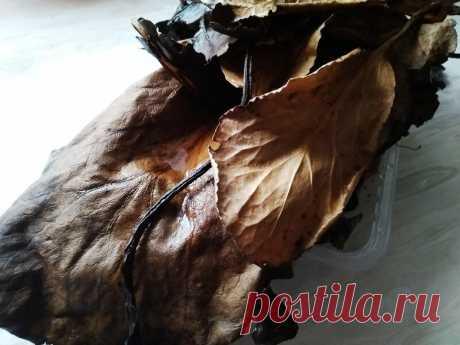 Запасаемся листьями бадана осенью на зиму. Чтобы в пандемию держать свой иммунитет на высоком уровне | Огородная фанатка | Яндекс Дзен