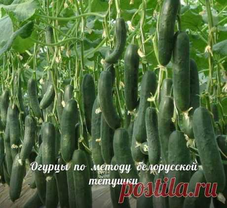 Сажаю огурцы по методу белорусской тётушки. Урожай потрясающий