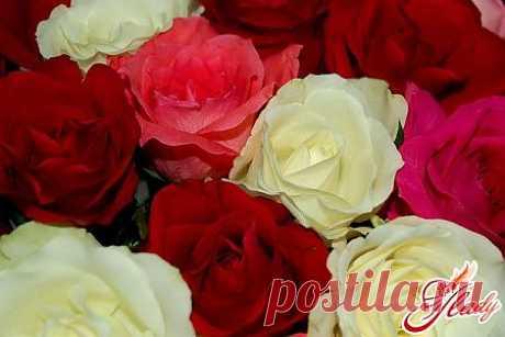 Комнатные розы: сорта роз