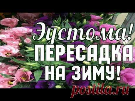 ЭУСТОМА!!! ПЕРЕСАДКА НА ЗИМУ // ДВУХЛЕТНЯЯ ЭУСТОМА!!!!!!