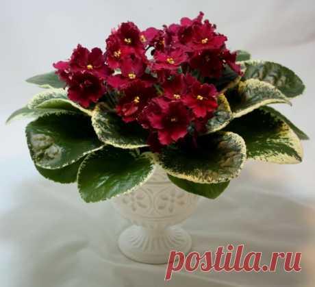 4 лучшие подкормки фиалок для цветения шапкой | Секреты сада. Дача, цветы |
