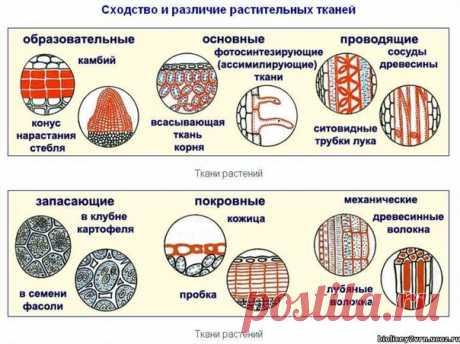 ТКАНИ РАСТЕНИЙ Ткань — группа сходных по происхождению и строению клеток и неклеточных структур, образующих структурно-функциональный ком-плекс и выполняющих одинаковые функции. Обычно при классификации учитывают функции, структуру, про-исхождение и местоположение тканей. Различают шесть основных групп (систем) тканей:  Система меристематических (образовательных) тканей: Показать полностью...