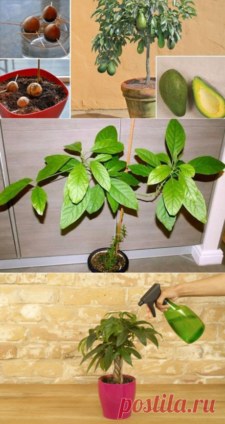 Avocado - how to grow up from a stone in house conditions how to couch and put a stone of avocado, video