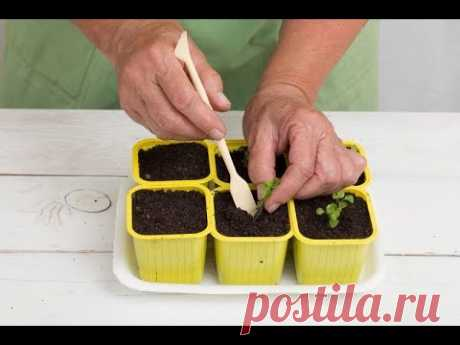 Как вырастить ЛОБЕЛИЮ из семян в домашних условиях | Размножение ЛОБЕЛИИ