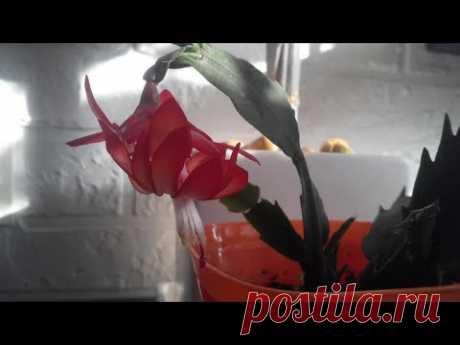 ROOM FLOWERS Schlumberger Rhipsalidopsis