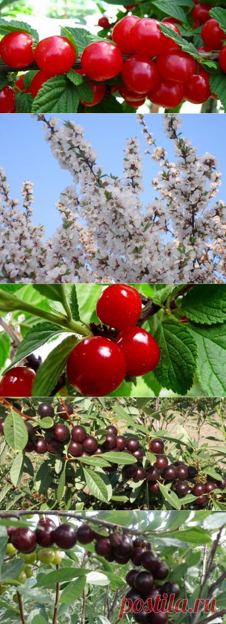 Красно-бордовая красавица в саду — войлочная вишня — 6 соток