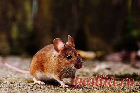 К чему снятся мыши во сне   Сонник-снов
