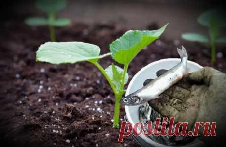 Рыба как удобрение для огорода Современные дачники все больше стремятся к натуральному земледелию и стараются удобрять растения только органическими веществами. Так, опытные огородники в качестве минеральной подкормки используют не только коровий навоз, птичий помет, дрожжевую жижу и настои луговых трав, но и рыбу. Возьмите это на заметку, и в следующий раз, когда будете выбрасывать рыбные внутренности, кости или чешую, – …