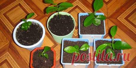 Как вырастить кофейное дерево в домашних условиях - уход, полив, пересадка и лечение болезней