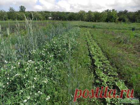 Organic agriculture at the dacha: myths and reality