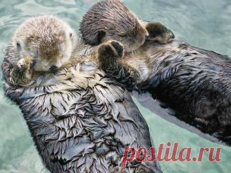 It appears not to be lost during a dream, sea otters hold pads)