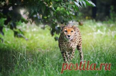 Гепард с московском зоопарке. Автор фото — Ираида Алексенко: nat-geo.ru/photo/user/295347/