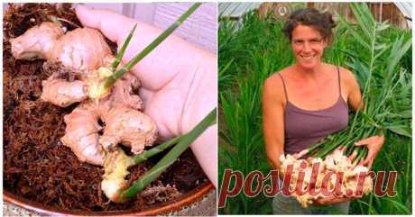 КАК ВЫРАСТИТЬ ИМБИРЬ ДОМА  А знаете ли вы, что его можно вырастить на своем подоконнике! И наслаждаться свежими, ароматными кореньями!  Имбирь в домашних условиях прекрасно себя чувствует. Главное знать, что период вегетации растения длится 8-10 месяцев. Корень имбиря высаживают в феврале-марте, его можно приобрести в магазине или на рынке. При покупке необходимо обратить внимание на состояние клубня: он должен быть гладким и плотным на ощупь, иметь живые почки возобновлен...