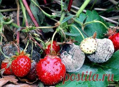 КАК УБЕРЕЧЬ ЯГОДЫ ЗЕМЛЯНИКИ ОТ СЕРОЙ ГНИЛИ Серая гниль особенно опасная во влажное лето. Споры этого гриба живут в почву. Если изолировать ягоды от почвы, то это значительно снизит заболеваемость. Можно сажать землянику на черный лутрасил (или спанбонд). Можно подкладывать во время плодоношения под цветоносы дощечки, или...