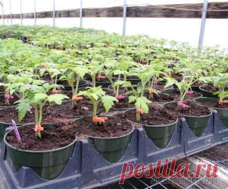 Удобрения для рассады – какие выбрать и как подкармливать растения Хорошая рассада – залог богатого урожая. Поговорим о том, какими удобрениями подкармливать рассаду и как правильно это делать, чтобы достичь максимального результата. Считается, что лучшие удобрения д...