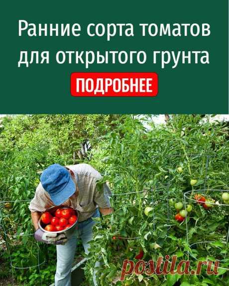 Ранние сорта томатов для открытого грунта