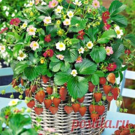 Чем подкормить цветущую землянику без применения химии