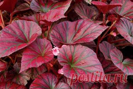 Бегония «Откровение темно-бордовый» (Begonia 'Revelation Maroon')