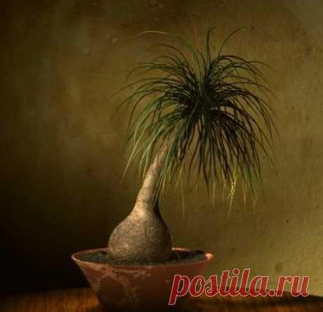 Идеальным растением для неопытных цветоводов является представитель семейства агавовых Нолина Бокарнея отогнутая. Жительница жаркой засушливой Мексики и юга США прекрасно чувствует себя в условиях квартиры. Ствол растения имеет утолщение снизу (каудекс), за что получило название «слоновья нога».